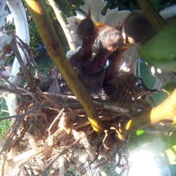 Bahama Mockingbird Chicks (Wander in Nature)