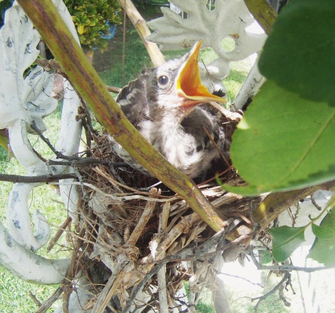 Bahama Mockingbird Fledgling (Wander in Nature)