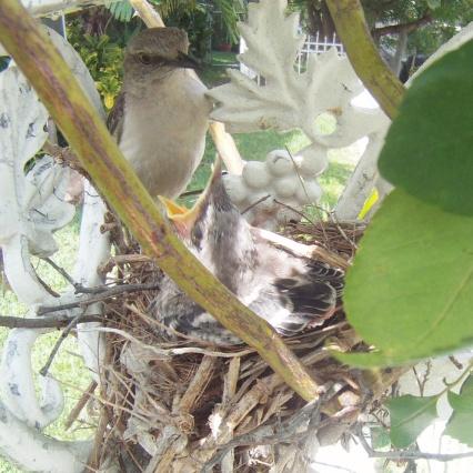 Bahama Mockingbird Adult & Fledgling (Wander in Nature)