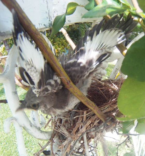 Bahama Mockingbird Fledgling - First Flight (Wander in Nature)